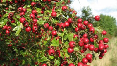 Ashwagandha właściwości ajurwedyjskiej rośliny