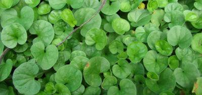 Gotu Kola - zielonysklep.com